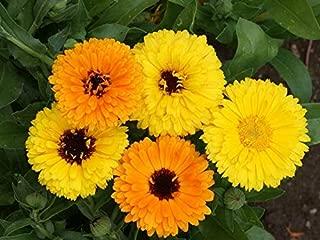 550 Calendula Fiesta Gitana Flower Seeds #ZFG