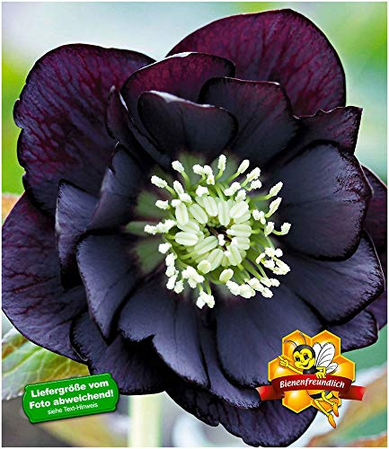 BALDUR-Garten Gefüllte Christrose Black Swan 3 Pflanzen Helleborus