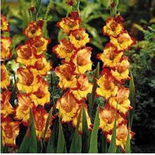 100 Samen/pack Verschiedene Stauden Gladiolen Blumensamen, Rare Schwertlilie Samen sehr beautoful für zu Hause Garten Bepflanzung A3