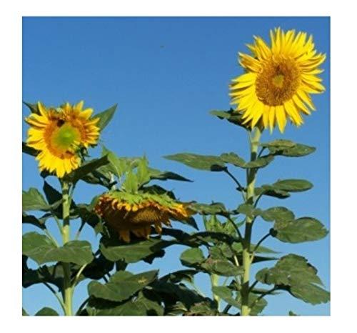 """Premier Seeds Direct ORG197 Riesen Sonnenblume """"Wolkenkratzer"""" Samen (Packung mit 30)"""