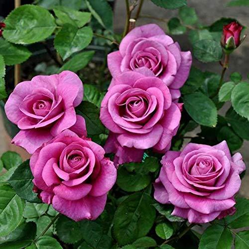 Cold Beauty Rosensamen 100+ (Rosa rugosa Thunb) Easy Grow Bio-Blume Hochwertige Pflanzensamen zum Pflanzen im Garten im Freien