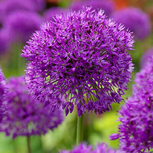 UtopiaSeeds 3 Allium Purple Sensation Bulbs - 4-6' Globe Shaped Flowers - Deer Resistant
