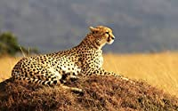 S-RONG雑貨屋 キッズジグソーパズル500ピース Cheetah Predator Wild Sitting Grass Looking Away Big Cats Animal エンターテインメントDIYおもちゃ子供のための創造的な誕生日プレゼント十代の若者たち家族の家の装飾楽しいゲーム大人の子供たち