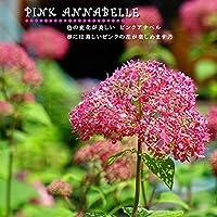 【ピンクアナベル】 アメリカアジサイ 4号ポット苗