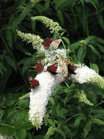 Schmetterlingsstrauch Buddleja White...