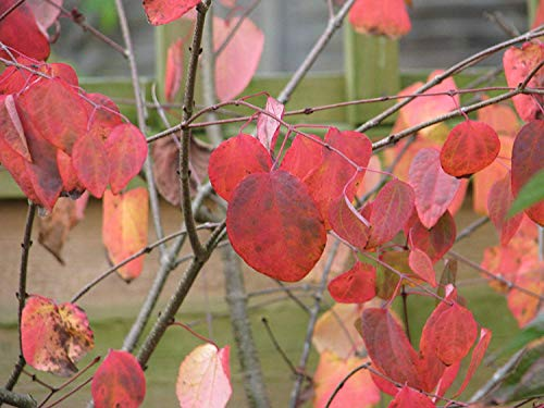 Kuchenbaum Cercidiphyllum japonicum Pflanze 55-60cm Lebkuchenbaum Katsurabaum