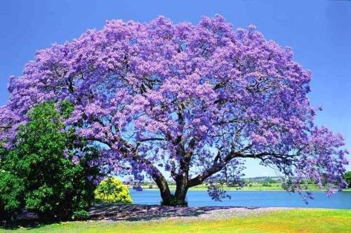 75+ BLEU JACARANDA TREE mimosifolia Fern Flower Garden Seeds