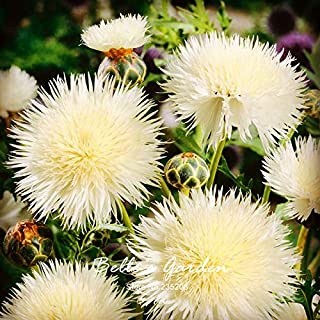 Protea Cynaroides Zucchinis Herb Seeds Hot Selling 100pcs White Cornflower 'The Bride' Flower Seeds Herb Flower Seeds Bonsai Home Plant