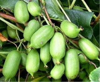 Issai Kiwi Seeds! Grows 100#'s of Fruit per Plant! NO Fuzz -Super Sweet Mini's!