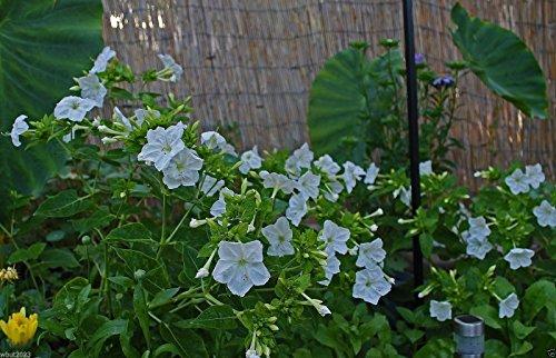 Pinkdose® Four O'Clocks Flowers (Mirabilis Jalapa-White) 100 semillas. Perenne