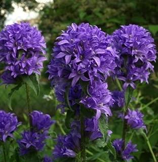 CLUSTERED BELLFLOWER ~Violet-Blue~