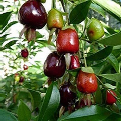 GETSO Kirsche Bonsai, Regenbogen süße Zwergkirsche Obstbaum Frühling Farm Home Bonsaipflanzen einfach Beste Verpackung 20 Stück wachsen: t