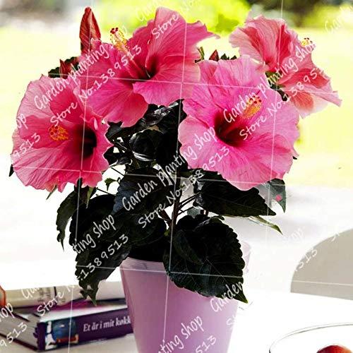 SANHOC 100pcs / Bag Bonsai Hibiskus-Blume Flores, eingetopft Hibiscus Mutabilis, Garten & Heimmehrjährige Pflanzen Blüte: 2
