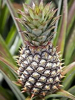 1 Starter Plant of Pineapple Plant Elite Gold Ananas Comosus, Bromeliacea