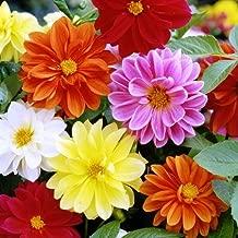 Dahlia Seeds - Unwins Bedding - Packet, Mixed Colors, Flower Seeds