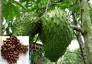 10 SOURSOP Seed, Annona muricata a.k.a. Guanabana, Graviola Freshly Harvest