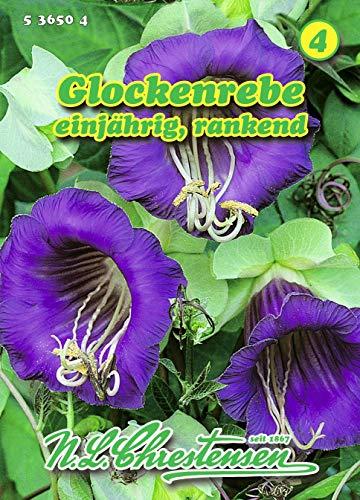 Cobea scandens, Glockenrebe violettblau N.L.Chrestensen Samen 536504-B