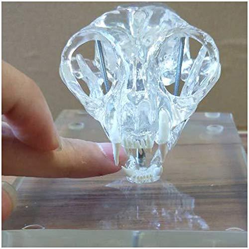 LUCKFY Transparent Katze Zähne Schädel Tier Feline Schädel Anatomie Modell für Tiermedizin Klassenzimmer Studie Anzeige Teaching Medical Modell