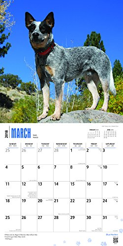 Blue Heelers 2018 12 x 12 Inch Monthly Square Wall Calendar, Animals Dog Breeds (English, French and Spanish Edition)