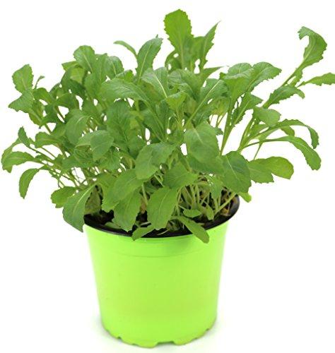 Rucola Pflanze, Salatrauke,Diplotaxis tenuifolia, Nachhaltiger Anbau!