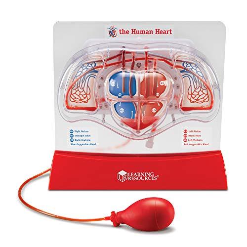Learning Resources LER3535 modelo de coração de bombeamento, auxílio ao ensino, conjunto de demonstração multissensorial para sala de aula, a partir de 8 anos, multicolorido, 30 x 28 x 12,7 cm