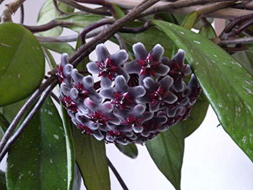 FERRY Bio-Saatgut Nicht nur Pflanzen: Hoya Pubicyx cv. Roy Lila ausgesät # 20