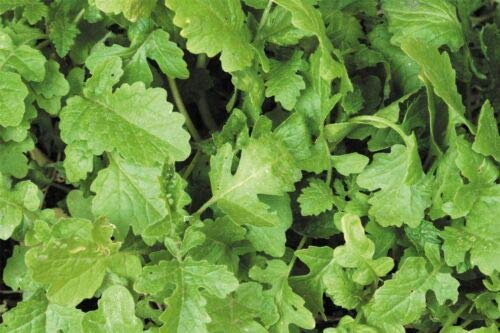 Salad - White Mustard - Sinapis Alba - 100g Seeds