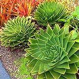 Vistaric 100 unids Rare Spiral Nueva Suculentas semillas Aloe vera polyphylla rotación Aloe vera reina semillas Aloe polyphylla