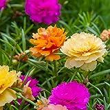 Moss Rose Double Mix - Portulaca grandiflora fl.pl. - 4500 semi - 4500 semi