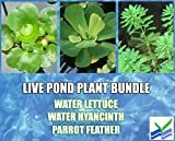 3 Water Lettuce + 3 Water Hyancinth Bundle + Parrot Feather - Floating Live Pond Plants