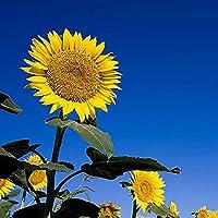 適応性が強い,大きな花,向日葵の種,高い観賞用価値,希望の美しい花,ヒマワリの種,観賞用の花,開花期間が長く,成長しやすい,珍しい植物-1500 粒,4