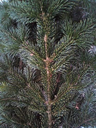 Tannenzweige Nordmanntanne ca. 5,0 kg Nordmanntanne Bio. frisch Natur pur