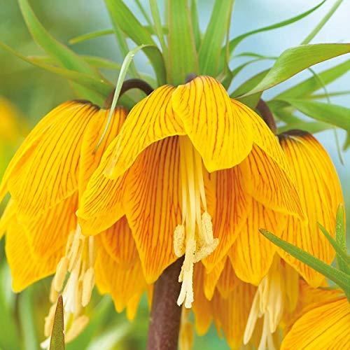 AIMADO Samen-Rarität 100 Pcs Kaiserkrone 'Striped Beauty' Blumensamen Gestreifte Blüten mehrjährig winterhart ideal für Garten