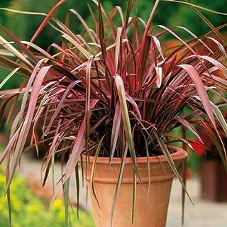 Phormium New Hybrids Ornamental Grass Seeds (New Zealand Flax) jocad (40+ Seeds)