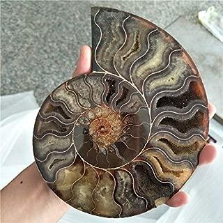 Dalas Big Size 400-500g Rare Iridescent Ammonite AMMOLITE Shell GEM Fossil Specimen Healing