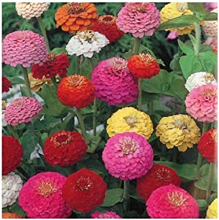 David's Garden Seeds Flower Zinnia Mixed Colors Sunbow SL3366 (Multi) 500 Non-GMO, Open Pollinated Seeds
