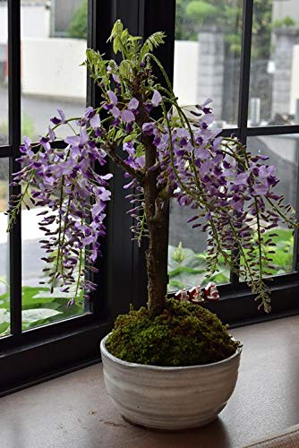 Purple Wisteria Plant Live- Spectacular Blue Moon Wisteria Vine Bonsai Plant 6-12' Tree in Height and in a 3' Pot