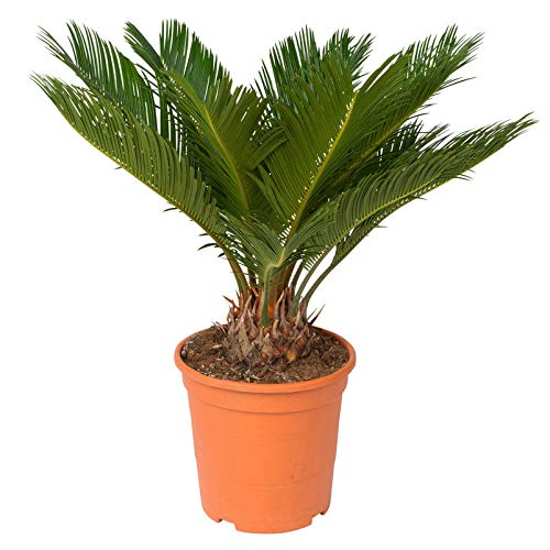 Pflanzen Kölle Palmfarn, Cycas revoluta Höhe 70 cm, Topf 21 cm