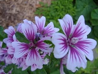 30+ Malva Sylvestris Zebra Hollyhock Flower Seeds / Perennial