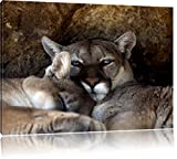 verschlafenes Puma Paar, Format: 80x60 auf Leinwand, XXL