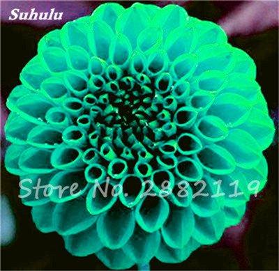 20 Pcs Graines de fleurs Dahlia Chineses Charme Bonsai Fleurs Belle (pas Dahlia Bulbes) Haut Germination jardin Plante en pot 7