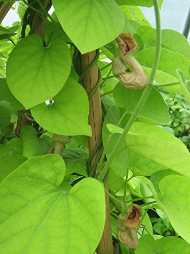 Pfeifenwinde (Aristolochia macrophylla) 80/100 cm