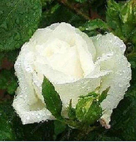 200pcs 24 Type de Rose Seeds Rare Belle semences de fleurs Balcon et cour d'ornement Graines Bonsai croissance naturelle pour jardin chocolat
