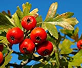 Portal Cool Rare 4 Graines D' Azerolier (Crataegus Azarolus) H369 Rosso azzeruolo Hawthorn Seeds