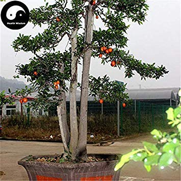 Potseed Keimfutter: 15pcs: Kaufen Diospyros Armata Pflanze Chinese Gold-Bart Baum