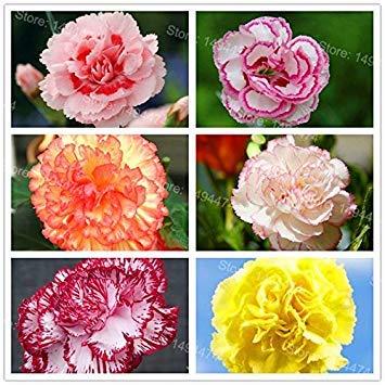Vista Seltene Nelken Samen mischfarbe Blumen Samen 100 teile/beutel Dianthus caryophyllus bonsai Blumen Samen für Hausgarten Mutter Geschenk