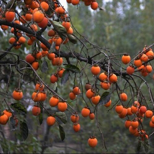 Cimelio organici 30 semi asiatico Caco arbusto semi Frutta arancione enorme sapore dolce Bulk Garden F18