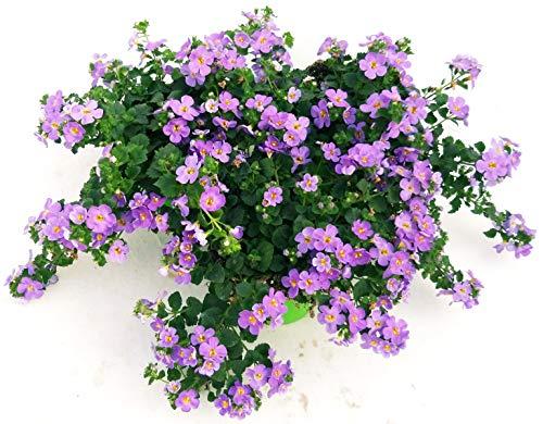 BACOPA LILLA, 3 PIANTE VASO 14, piante vere