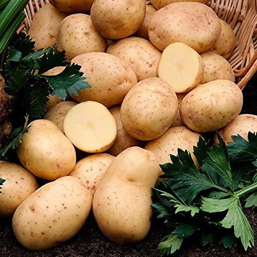Qulista Samenhaus - Rarität 50pcs BIO Kartoffel Gunda Früh hellgelb aromatisch Gemüsesamen winterhart mehrjärhig