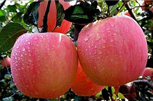 bonsaï nain 50 graines cueillir des fruits délicieux dans votre jardin facile -growing Bonsai FruitFree Expédition 10